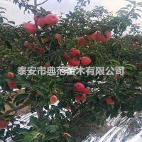 寒富苹果苗价格 现挖现卖寒富苹果苗赠送栽培技术