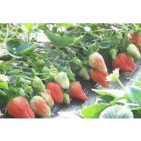 基地直销草莓苗 有红颜 丰香 甜查理 等 现挖现卖 品种纯正 量大优惠