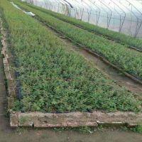 批发出售组培蓝莓树苗 当年穴盘苗价格 品种齐全山东蓝莓树苗种植基地