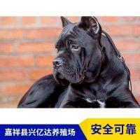 嘉祥县兴亿达纯种幼年卡斯罗犬护卫犬养殖场供应