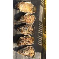 乳山牡蛎生蚝刺身批发