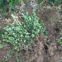 出售50公分高大叶黄杨树苗 70公分高冬青树苗山东绿化苗种植基地