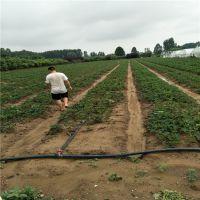 章姬草莓苗育苗方法红颜草莓苗批发