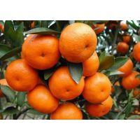 砂糖桔 柑桔苗 柑桔种苗 柑橘苗