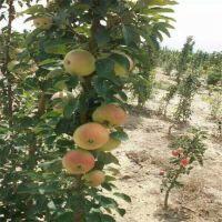 华玉苹果苗