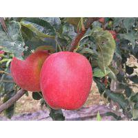 2018开园新品鲁丽苹果苗保证纯度98%以上全国发货 闪电发货