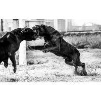 嘉祥县兴亿达纯种卡斯罗犬狩猎犬养殖场供应