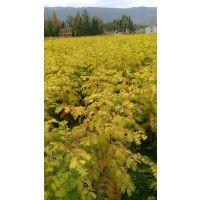 供应金叶水杉树苗、株高80-1米以上
