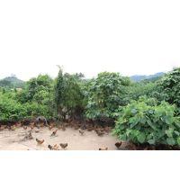 广东天农清远鸡蛋-清远麻鸡怎么做|天农食品清远鸡养殖方式