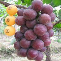 大量出售红芭拉多葡萄苗 葡萄苗规格颜色好