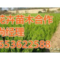 优质绿化苗木|芳青花卉苗(图)|优质绿化苗木绿化工程
