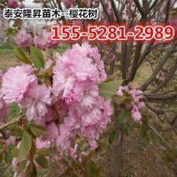 3公分高杆樱花4公分高杆樱花价格