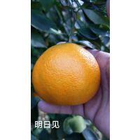 正宗的明日见柑橘苗多少钱 湖南树人公司苗木优质