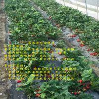 法兰地草莓苗咨询