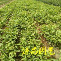 广西靖西的核桃树苗批发市场在哪里泰安源昌苗圃批发