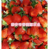 法兰地草莓苗知道