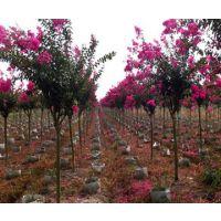 欲购便宜紫薇树苗 就到江苏沭阳颜集镇紫薇树基地 这里苗好价优