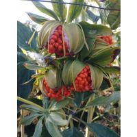 滇重楼种子,提供催芽技术,种植管理技术,种子成活率高