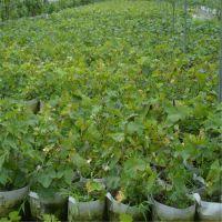 泰安开发区瑞康苗木园艺场供应优质夏黑葡萄种苗 高度0.8m葡萄苗品种