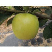富金苹果树苗 富金苹果苗基地