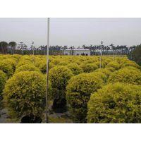 黄金香柳球高度1米 球形饱满地苗大量出售 黄金香柳球树自产自销