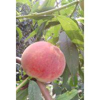 永莲蜜桃种植方法 永莲蜜桃种植基地