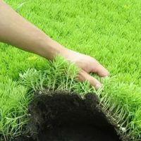 长期供应园林绿化立体花坛 植物绿雕用苗佛甲草白草学盘苗地栽苗