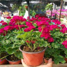 天竺葵种植基地丨山东天竺葵多少钱