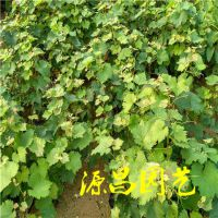 景洪卖葡萄树苗的批发市场在哪里