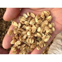中药材北沙参种子价格优惠纯新安国地产道地货技术指导回收产品
