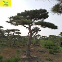 泰山造型景松 山东景松基地 造型多样好看 质量优 现场看树挖树 成活率高