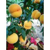 黄金蜜8-8黄桃苗新价格 黄金蜜8-8黄桃苗品种特点