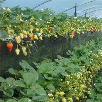 新品种出售红颜脱毒基地四季大棚草莓秧苗草莓种苗木