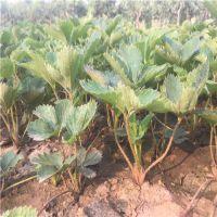 四川甜宝草莓苗价格 求购脱毒甜宝草莓苗 哪里有草莓苗新品种