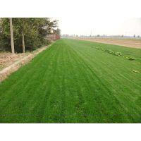 北京哪里有草坪基地,卖草皮卷,铺草坪,送货上门