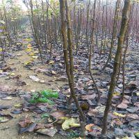 志森园艺梨树苗供应 如何种植秋月梨树苗高产 回报快