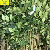 花椒苗价格 60公分花椒苗种植基地 大红袍品种 规格齐全 质量优 基地直销 现挖现卖