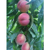 山东帅师香桃苗品种 泰安沂蒙霜红的第二代桃树苗品种批发价格