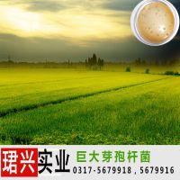 专业生产解磷固钾肥料的原菌粉巨大芽孢杆菌 防治植物病害