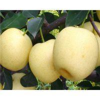 早白蜜梨苗品种介绍 2公分早白蜜梨苗价格