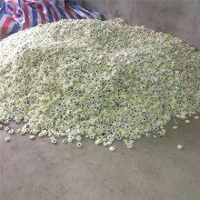 今年药材种植什么好价格高好管理金丝黄菊贡菊基地
