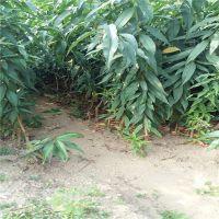 志森园艺大量现货供应桃树苗品种 占地桃树苗品种 原生桃树苗价格