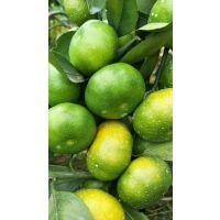 云南省早熟柑橘苗在哪里买的