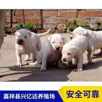 嘉祥县兴亿达精品杜高犬幼犬养殖场价格