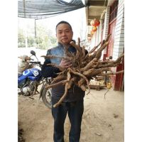 亳州哪里有卖白芍芽子的 白芍芽子价格