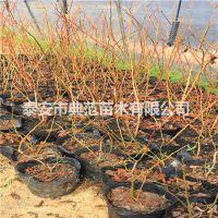 北陆蓝莓苗 北陆蓝莓苗价格 产地批发质优价廉