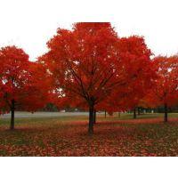 加拿大红枫价格