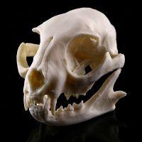 招财猫头骨模型树脂动物骨骼骨架动物头骨模型树脂骷髅头手把件