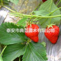 佐贺清香草莓苗价格 佐贺清香草莓苗 耐储性强