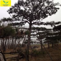 景松 山东泰安造型景松价格 规格多样 泰山著名景观 质量好